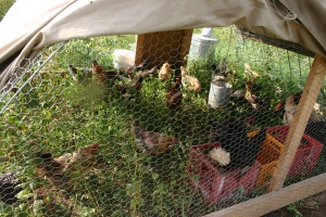 chickens in movable coop