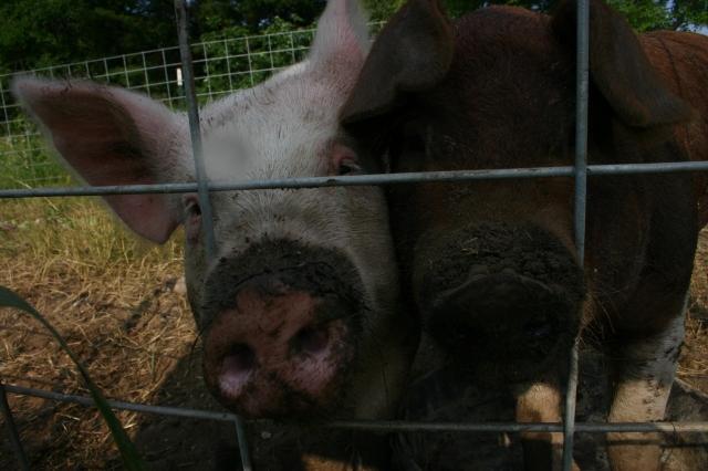 Echo Bend hogs