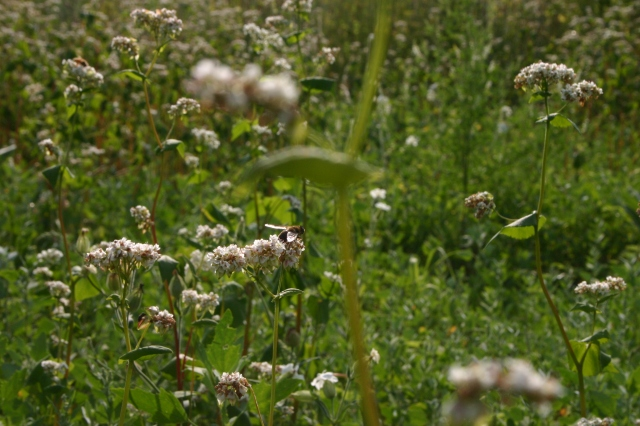 honeybees on buckwheat