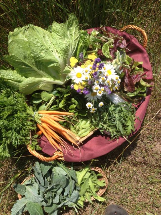 Green, crisp, healthy CSA Harvest Basket, July 10, 2013